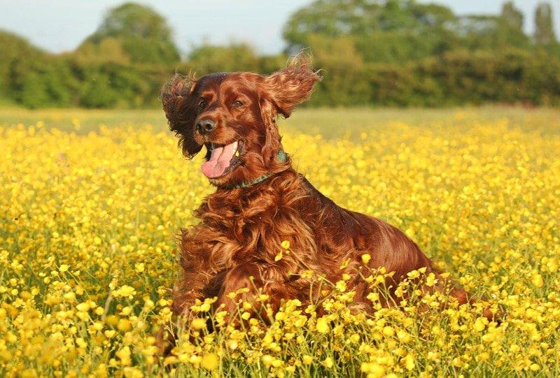 Gypsy having fun in a field of Buttercups (Sheffield)